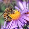 bee-pollinating-100x100